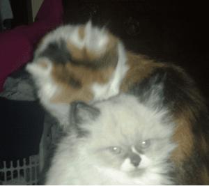 Apollo - Ragdoll Kitten of the Month 3