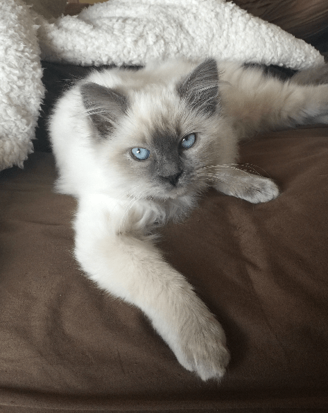 Jeter - Ragdoll Kitten of the Month Bed