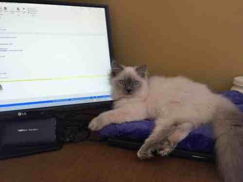 Jeter - Ragdoll Kitten of the Month Monitor2