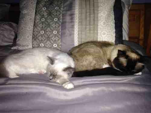 Sophie - Ragdoll Kitten of the Month