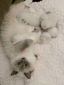 Willetteragdol Ragdoll Breeder in Massachusetts JeTaime and her babies
