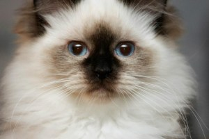 Willetteragdol Ragdoll Breeder in Massachusetts Senior Queen Annie
