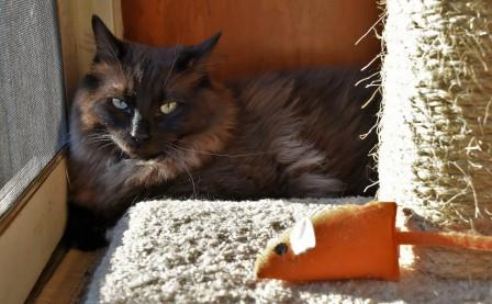 Bagheera - Ragdoll of the Week