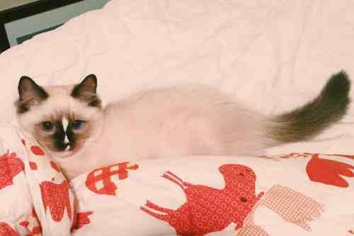 Clawdio - Ragdoll Kitten of the Month