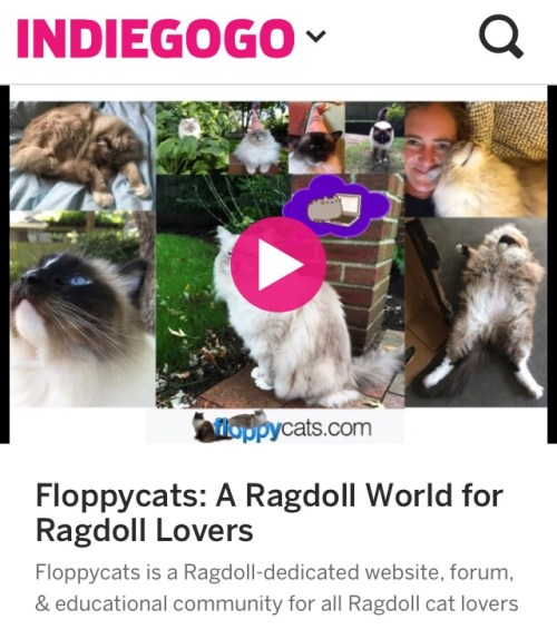 Floppycats Ragdoll Cat Blog Indiegogo Campaign Video