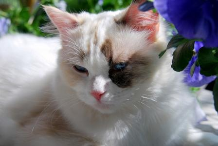 Pacificats Claire, a seal tortie point bicolor girl
