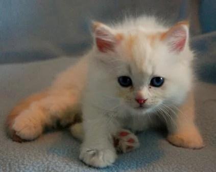 Pacificats Obelix as a Kitten