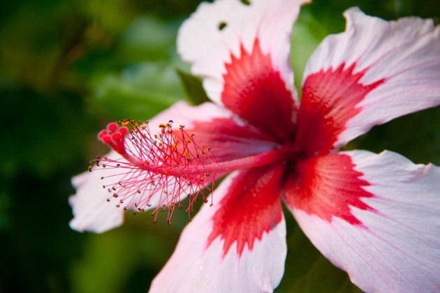 Exploring Hawaii s Floral Treasure   All About Flowers     Our Blog     The Hawaiian  name for the Hibiscus flower is quite queer  This flower has  its origins in Hawaii itself  With large white and wonderfully fragrant  blossoms