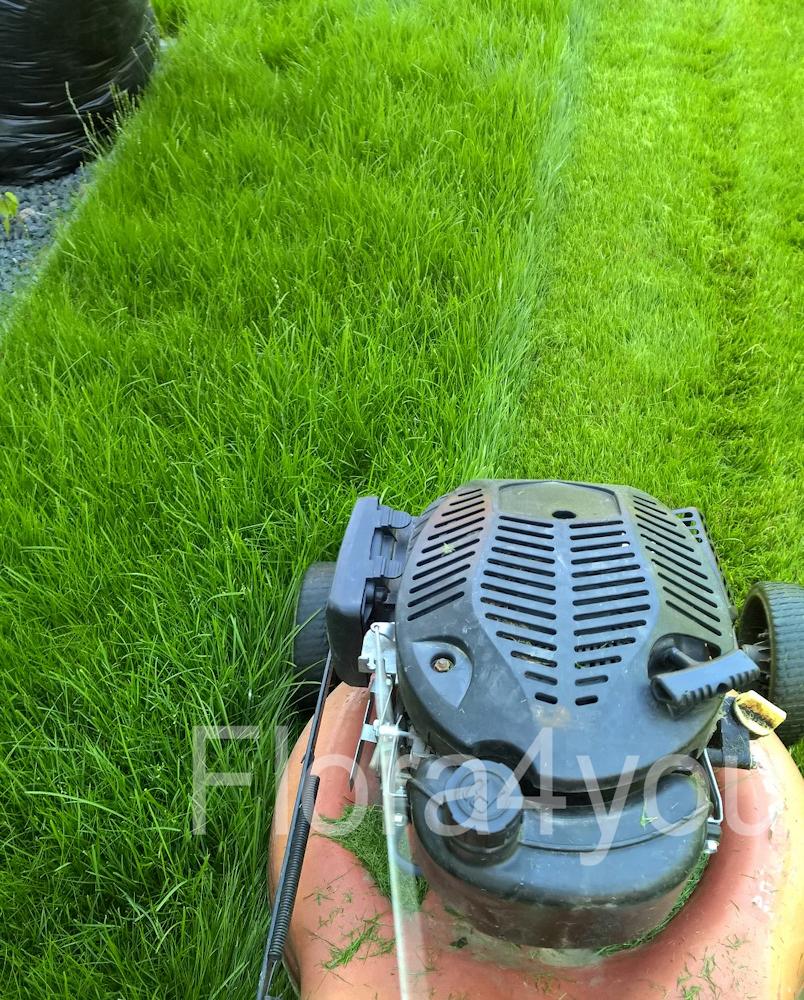 Pierwsze koszenie trawnika z rolki