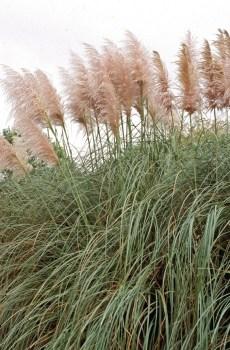w tym miejscu jest zdjęcie trawy pompasowej