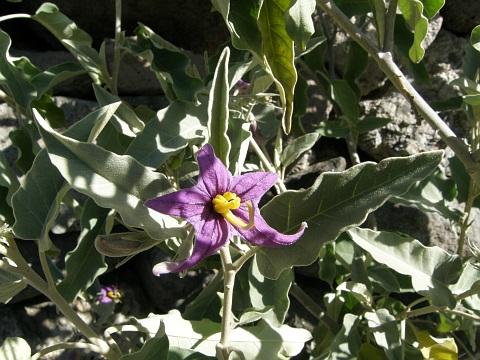 Solanum lidii