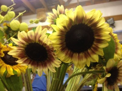 bi-color-sunflowers