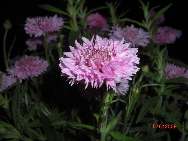 centaurea-(2)