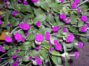 purple-gomphrena
