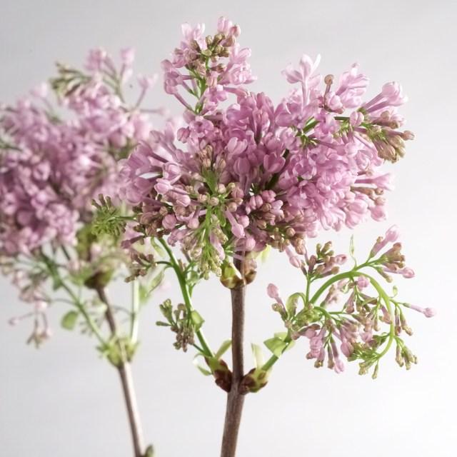 purple lilac as wedding flowers