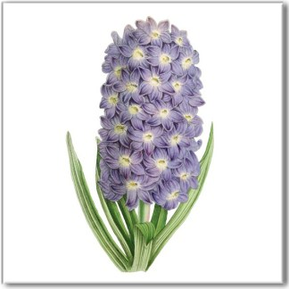 Vintage style wall tile, pale purple hyacinth flower on a white square background