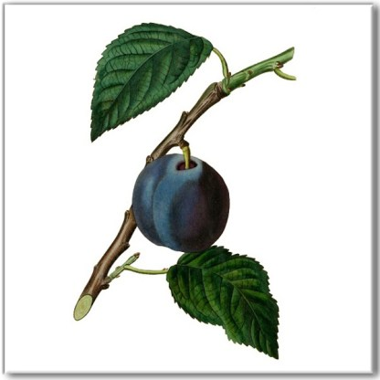 Vintage ceramic wall tile, dark purple plum fruit on branch, on a white square background