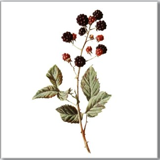 Blackberries Ceramic Wall Tile