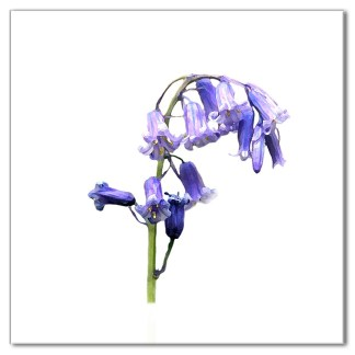 Bluebell Floral Ceramic Wall Tile