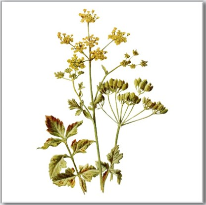 Ceramic wall tile with Cow Parsley image on a white square background