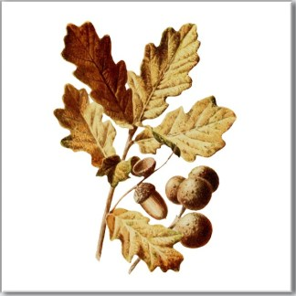 Ceramic wall tile with Oak tree leaves, oak apples and acorns design