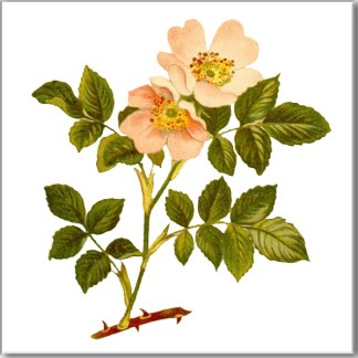 Wild Dog Rose Floral Ceramic Wall Tile