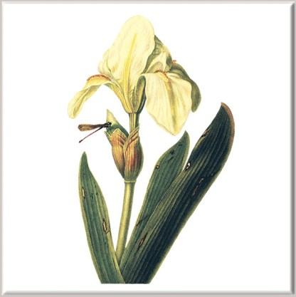 Yellow Iris Ceramic Wall Tile