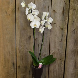 Orchidėja Phaleonopsis šviesi