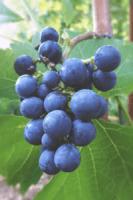 Jacadee - Cabernet Cortis - Florem Vitis