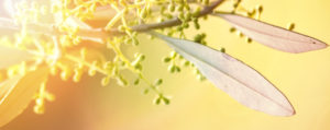 bachbluete-No-23-olive-oelbaum