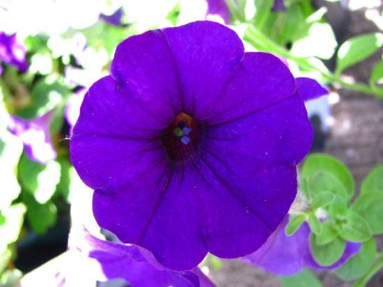 Resultado de imagen para petunia flor