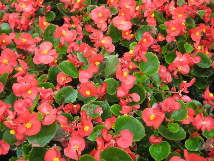 Cuidados de las begonias de flor - Trucos y consejos para cuidar de tus  begonias