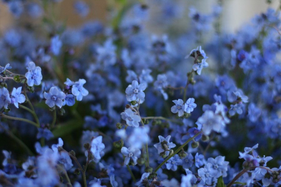 FLOWER FOCUS  Chinese Forget Me Not s   Floret Flowers 8359009938 2c4fe1e22c b