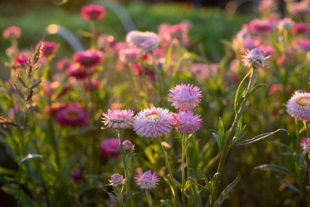 Strawflower at Floret Flower Farm