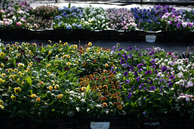 Floret Viola and pansy trial