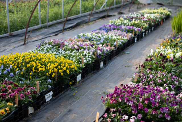 Pansy trial at Floret