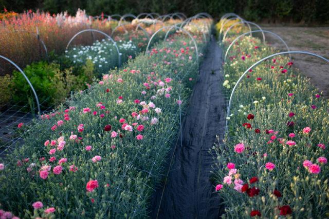 Floret field trials