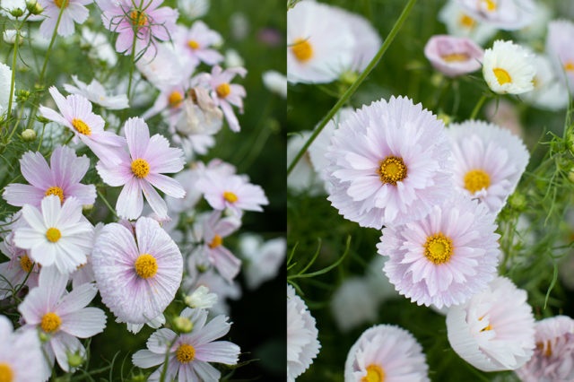 close up of cosmos flowers