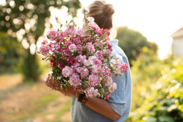 Armload of Carnation grown from seed from Floret Flower Farm
