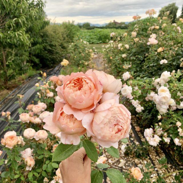 A Year in Flowers Garden Rose