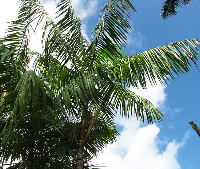 Fronds of Acai Palm Tree (Euterpe oleracea)