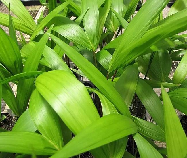 Young Acai Palm Trees (Euterpe oleracea)