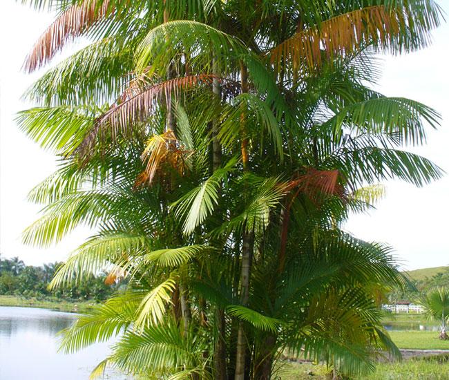 Group of Acai Palm Trees (Euterpe oleracea)