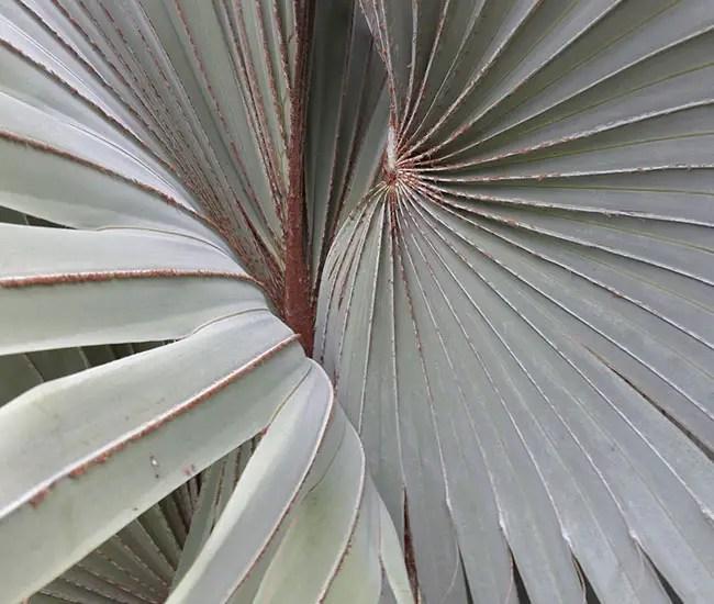 Silver leaves of Bismarck Palm (Bismarckia nobilis)