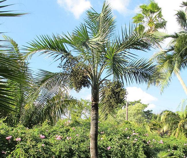 Buccaneer Palm (Pseudophoenix sargentii).