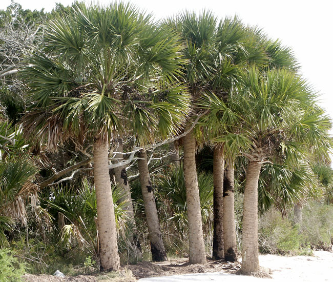 Cabbage Palm (Sabal palmetto).