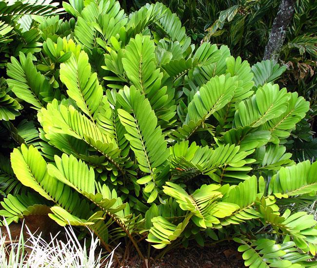 Cardboard Palm (Zamia furfuracea).