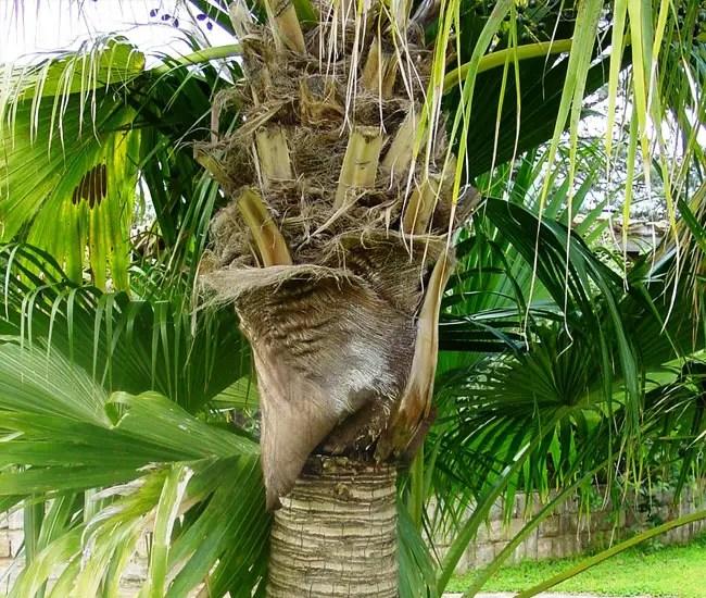 Chinese Fan Palm Tree (Livistona chinensis) trunk