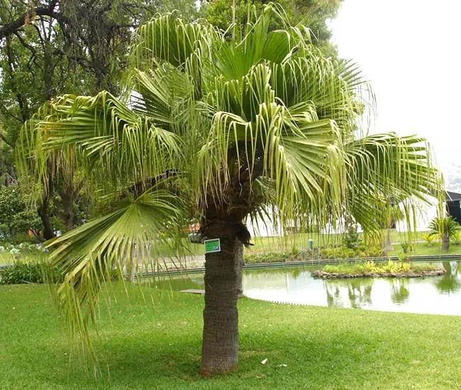 Chinese Fan Palm (Livistona chinensis).