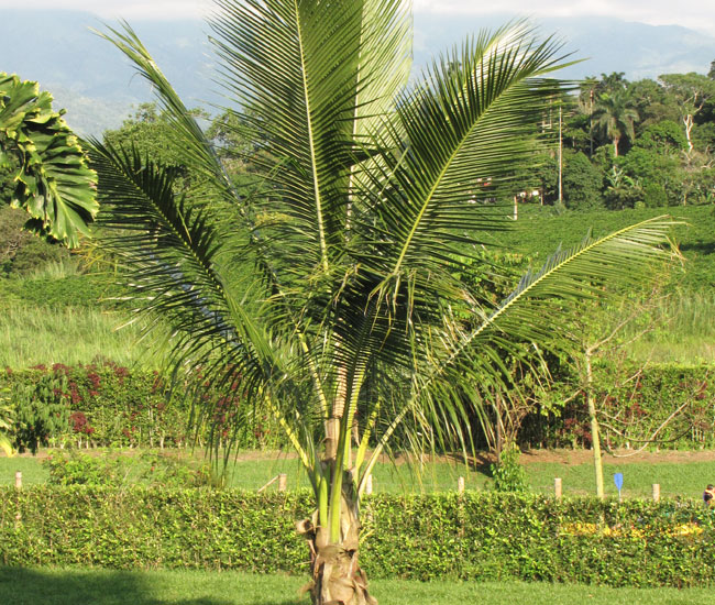 Coconut Palm Tree (Cocos nucifera)